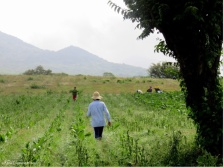 We come across people picking tobacco in this field.
