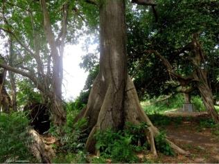 We pass some amazing trees