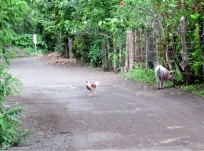 Pigs and chickens in the road - all is normal :D