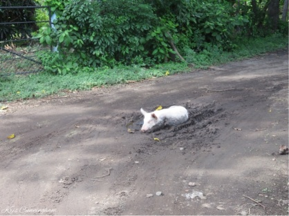 "As I approached the intersection towards the house I came across this scene that totally cracked me up. this definitely is ""happy as a pig in mud""."