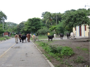 Cows on the move