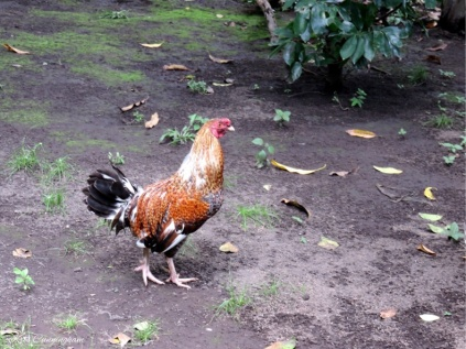 Our resident hard working and busy rooster.