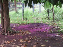 One of the trees has starting blooming and making a purple carpet on the ground.
