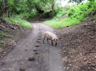 "Another addition to my ""pigs in mud"" collection. This one was in the street leading out of the neighborhood."