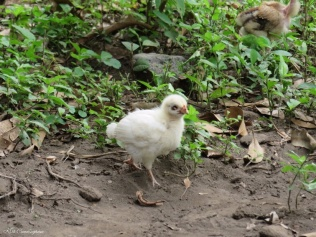 One of the baby chickens next door