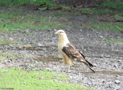 This pretty yellow headed caracara was in front of the house. I have seen them a lot in the country but they are unusual in our neighborhood.