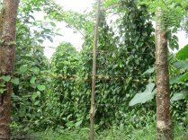 Along here there are a lot more food crops. This is yampi, a type of yam (Dioscorea trifida)