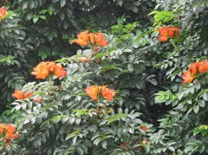 There are a few of these big trees all around the area covered with bright orange flowers.