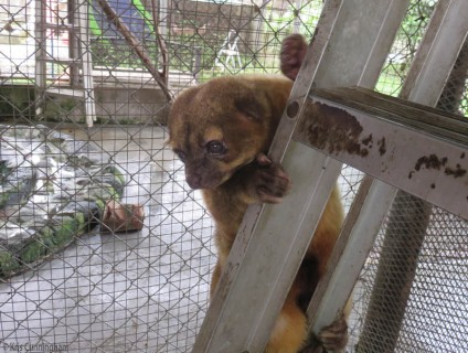 Raquel told us that this kinkajou has traveled and worked with her a lot and has appeared in commercials.
