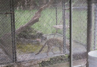 This beautiful cat was hard to photograph through the fences, but we would have to go through the monkey cage to get closer.