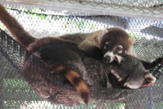 A coatimundi was so cute cuddled in the hammock with a raccoon.