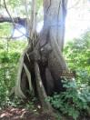 a huge tree!