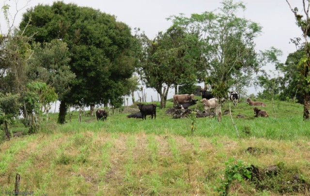 When we arrive, the cows are waiting on the hill for lunch to be served.