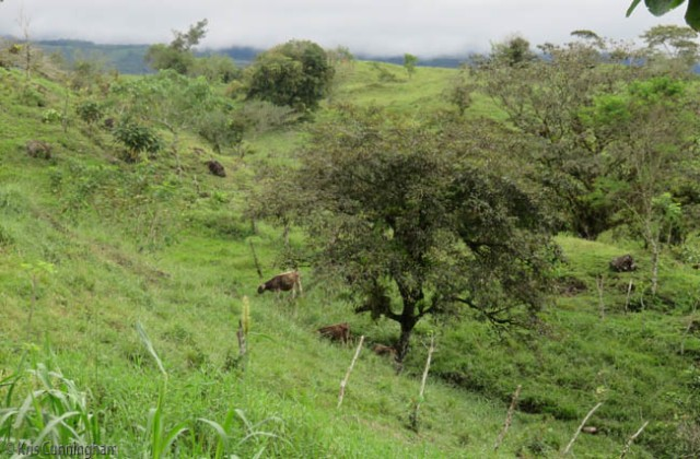 The older calves are grazing down the hill.