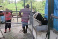 One of the cows was not eating and looks thin. She was put in this space for examination of her mouth. Nothing wrong was found there, so Cedo calls the vet for advice.