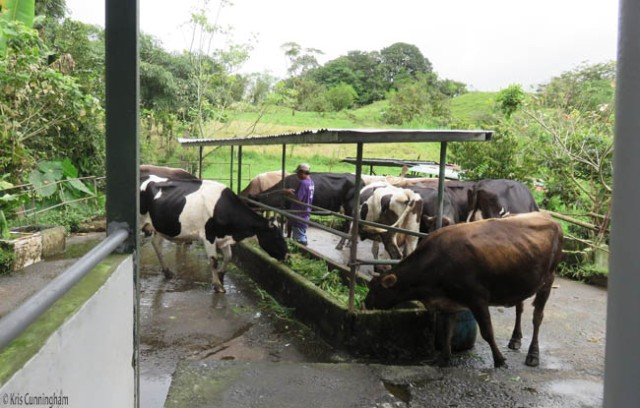 The cows start to eat while the caretaker ties the bull to the railing (behind the black and white cow on the left)