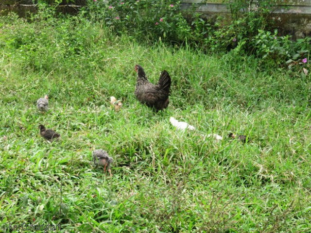 There are baby chicks of various sizes following their mothers, or if bigger exploring on their own.