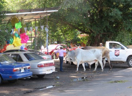 Oxen are dropped off at the car wash to get attached to their carts.
