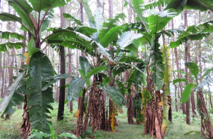The woods and the huge banana trees were really beautiful.