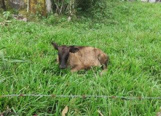 This is the little calf who was so sick and looked like skin an bones. She is looking great now.