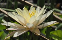 I love the water lilies with their delicate petals and soft colors.