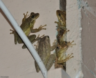 We also had tons of frogs, toads, and tadpoles in the pond and they could make quite a racket. These tree frogs liked to live behind the house shutters. They weren't very happy when we renovated the house for sale and removed the shutters in the process.