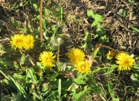 "I also remember dandelions in fields and yards. They were ""weeds"" and I was instructed to remove them from the lawn, but they sure were pretty in the spring."