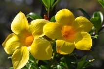 I have some yellow flowers growing along my front fence.