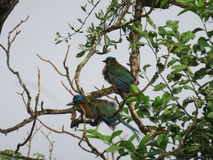 A pair of wet Motmots shake themselves off in the tree.