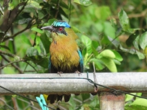 One of the motmots perched on the clothesline pole.