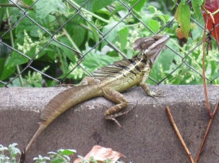 This is the first time we have seen this type of Jesus lizard in our area! We have the smaller brown ones, but I've never seen this bigger green one around here. Thank you Joel for the great shots of this interesting lizard.