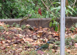 The Jesus lizard and the motmot are both eyeing the compost pile. (They are called Jesus lizards because they can literally walk on water. They use their long toes to stay on the surface and run very fast across the water)