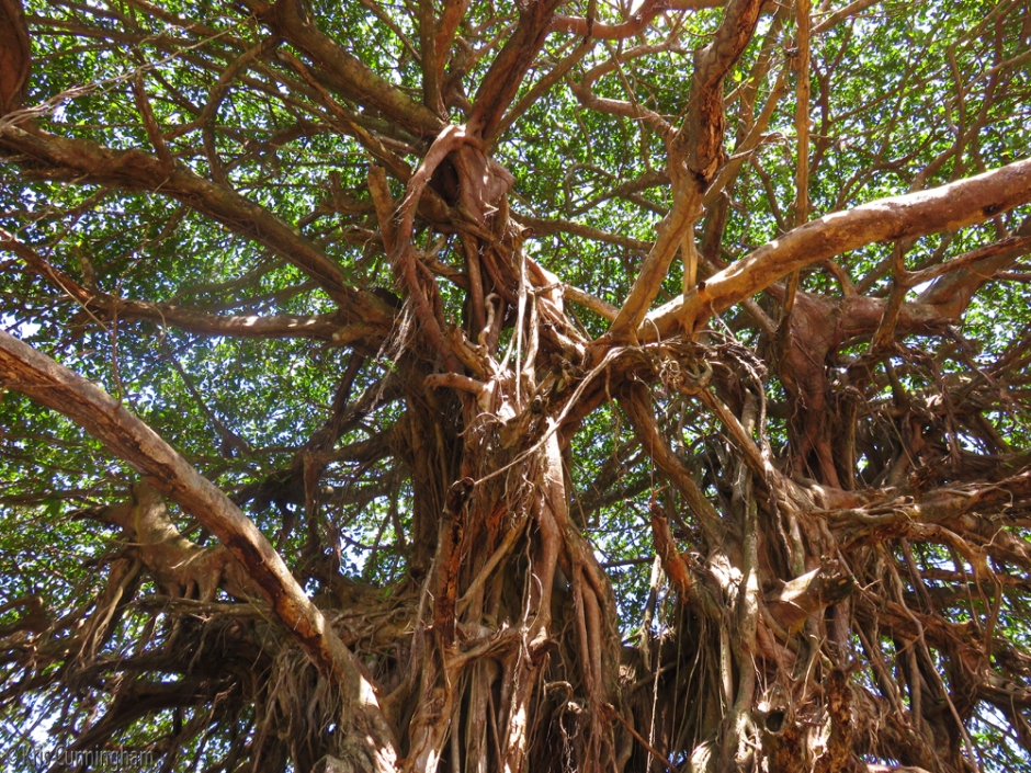 More tangles and aerial roots