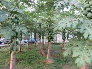 Check out the papayas!! I never saw so much fruit on a tree all at once.