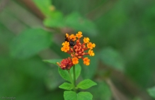 A black bee visits an orange lantana