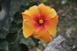A beautiful orange hibiscus