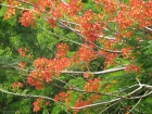 A tree ablaze with orange flowers