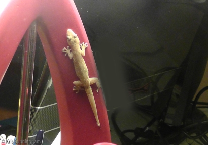 The lizard gets daring and climbs up the desk lamp, knowing his reward will be all the bugs he can eat as long as the light is on.
