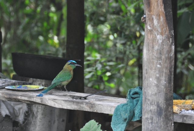 A real reward for being in the right place at the right time, is seeing one of these beautiful motmots. I think he was checking out this outdoor kitchen looking for a reward of his own.