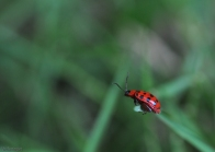 I love this little red bug (caught with my macros lens)