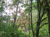 Colorful bromeliads in a tree