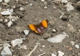 This poor butterfly is beautiful, though quite tattered.