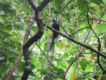 We came across a tour guide pointing out something to the man with him, so of course had to stop and ask what they were looking at. There in the tree was a spectacular resplendent quetzal!
