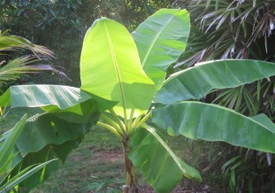 The morning light hits the plantain leaves.