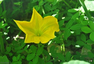 I have a squash trying to take over the yard. This morning I found this big flower hiding from the morning light under the leaves.