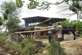 La jefe (the boss) confers with the caretaker about the cows.