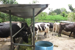 Lunch for the cows - chopped grass with molasses, yum.