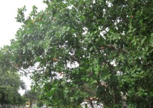 Right in front of that mango tree is a cashew tree. You can see some of the red fruits. I also like these and take them home when I find them.