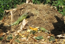 We have a compost pile and sometimes we have iguanas, butterflies, and birds. One day Joel spotted five iguanas!