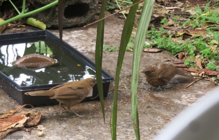 Our bird bath also gets a lot of visitors. The one on the right just finished flapping around in the water and is all wet, and the other is ready to go in.